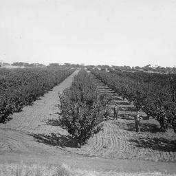 Orchard at Berri