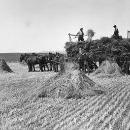 Haymaking near Willunga