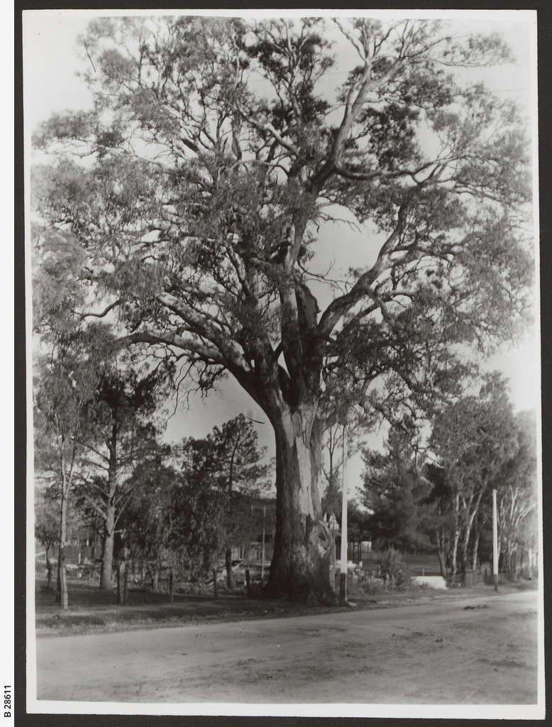 Gum tree, Burnside
