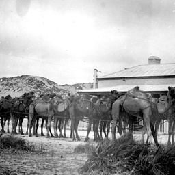 Camels at Fowlers Bay, South Australia