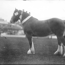Prize winning draught horse