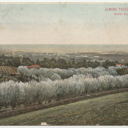 Almond trees, Beaumont