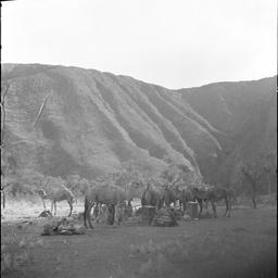 Camel string at Ayers Rock