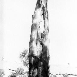 Canoe Tree at Kroehns Landing showing two scars