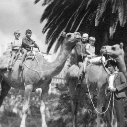 Camels at Government House