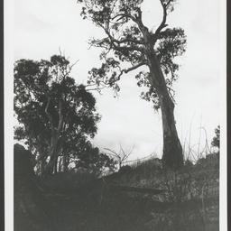 Canoe tree at Blanchetown