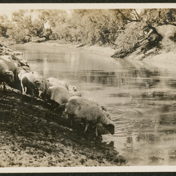 Sheep at Tourawachi waterhole