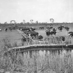 Cattle on Todmorden Station
