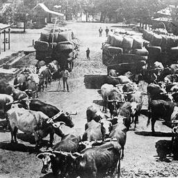 Bullock teams carting wool at Echuca