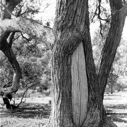 Canoe tree, Murrumbidgee Hay, Mr. Gibson's property