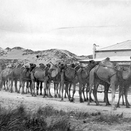 A camel team at Fowlers Bay, South Australia