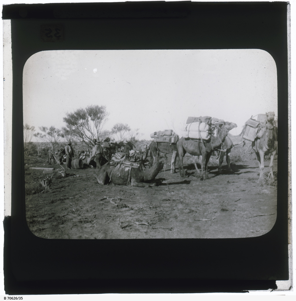Men and camels in mallee area