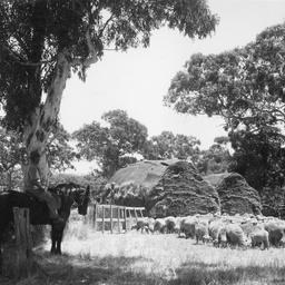 Sheep at Myponga