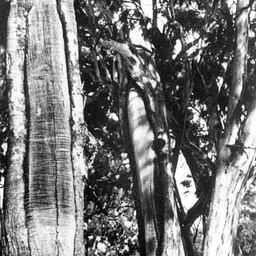 Canoe trees with bark removed for making canoes at Waikerie
