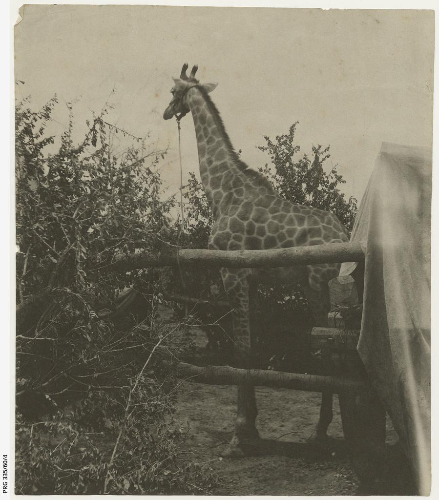 Giraffe at M'ponda