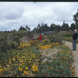 South African plants in flower in Wittunga Botanic Garden