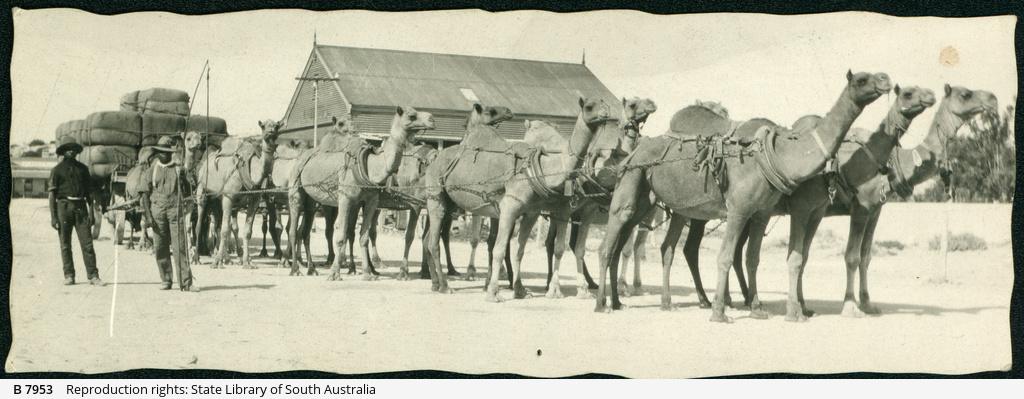 Nullarbor Camel Team
