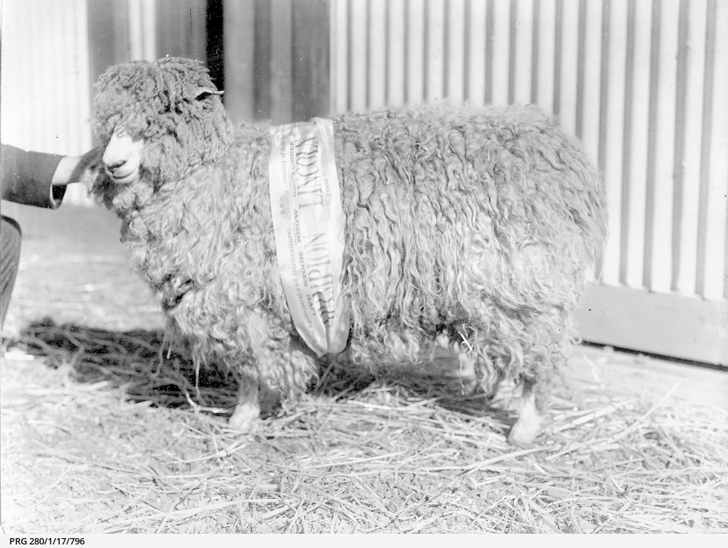 A champion Lincoln sheep
