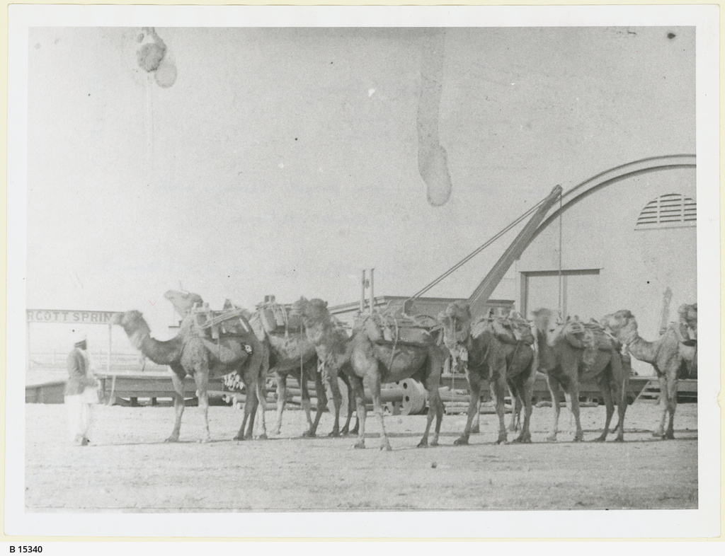 Camels at Marree