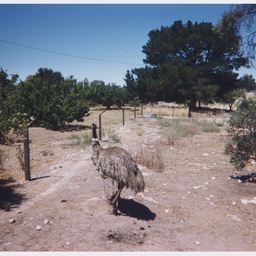A pet emu on farmland, 'Cold and Wet' in Coonalpyn