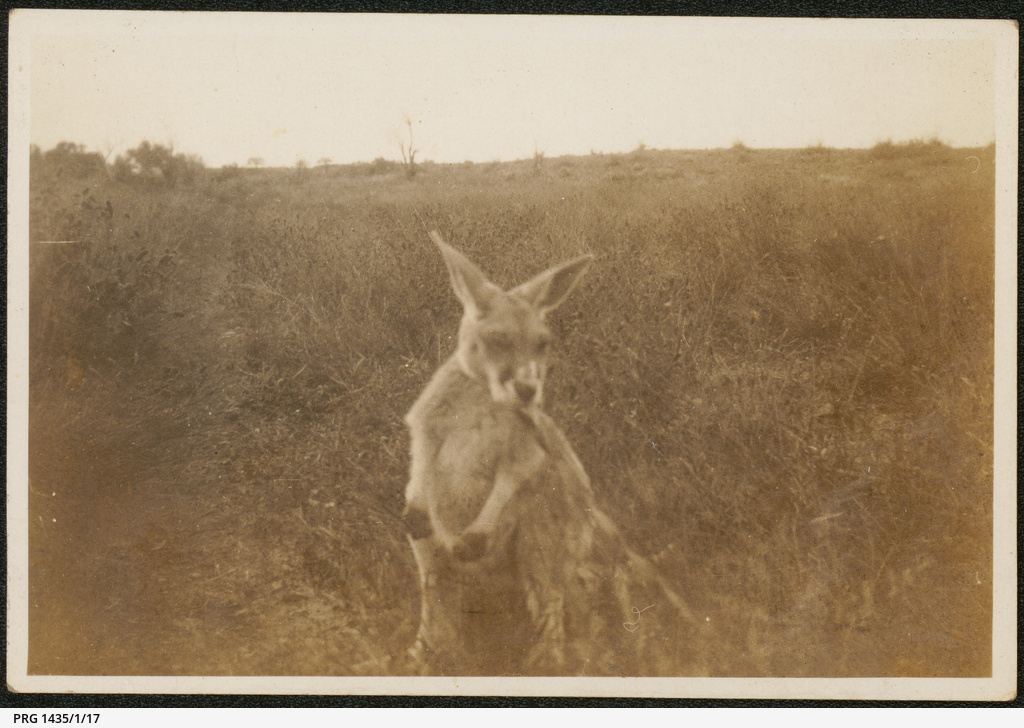 Young roo