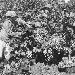 Grape picking Auldana